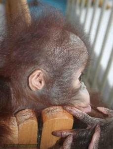 Baby orang utan in the Orang Utan Island Nursery