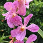 Orchids in the Orchid Garden