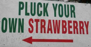 Pluck your Own Strawberries in Cameron Highlands