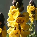 Popcorn senna (Senna didymobotrya) blooming in the Hollis Garden