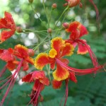 Pride of Barbados at the Tropical Spice Garden