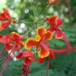 Pride of Barbados at the Tropical Spice Garden