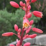 Red Yucca blooms