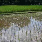 Three week old rice paddies at Laman Padi in Langkawi