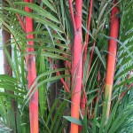 The Sealing Wax Palm growing in KL
