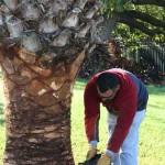 Shucking the Palm in Hollis Garden