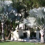 Silver Bismark Palms in Hollis Garden