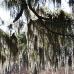 Spanish moss at Polk's Nature Discovery Center