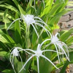 Spider Lilies in Langkawi