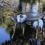 Swan in Bok Tower gardens