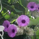 Wooly Morning Glory (Argyreia nervosa) in Langkawi