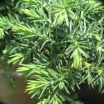 Juniperus conferta 'Silver Mist' ('Silver Mist' Shore Juniper)