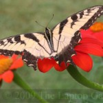 Swallowtail and Tithonia