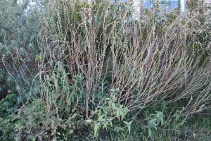 Salvia left unpruned in the fall has a better chance of survival through the winter and the seedheads add winter interest.