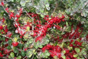 Yaupon holly after a February ice storm
