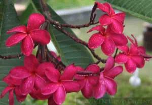 Frangipani blooming in Langkawi, Malaysia