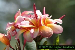 Frangipani blooming in Zilker Botanical Garden, Austin Texas