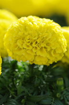 African Marigold Taishan Yellow