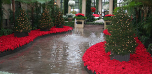 Poinsettias on display at Longwood Gardens (2006)