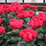 Winter Rose Poinsettia at Longwood Gardens