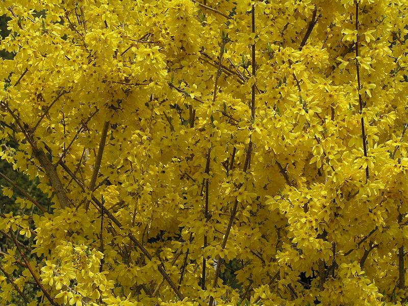 a few favorite spring blooming shrubs « the laptop gardener, Natural flower
