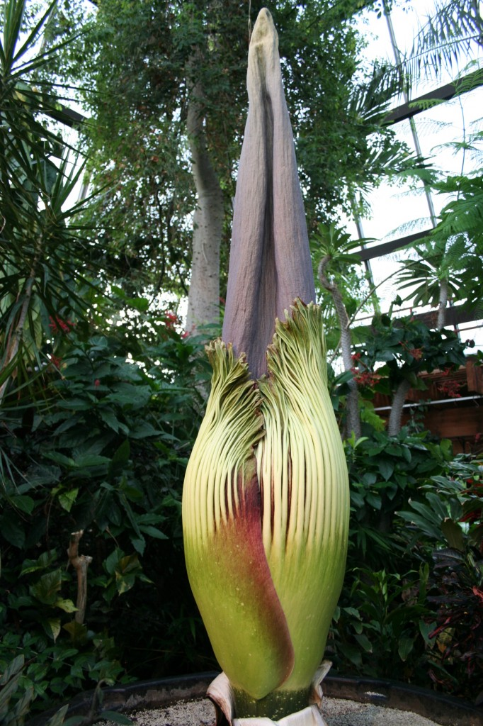 The Titan Arum just before it blooms at the Niagara Parks Floral Showhouse on May 27th, 2014