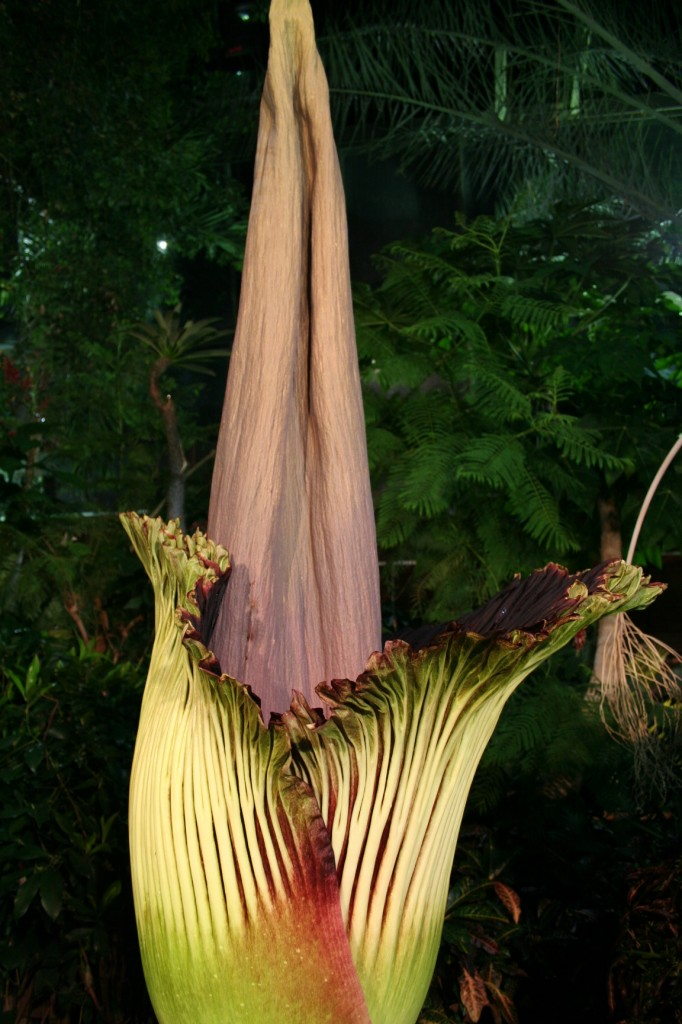 Morph, the Niagara Parks Titan Arum beginning to bloom on May 27th, 2014 at 11:30 pm.