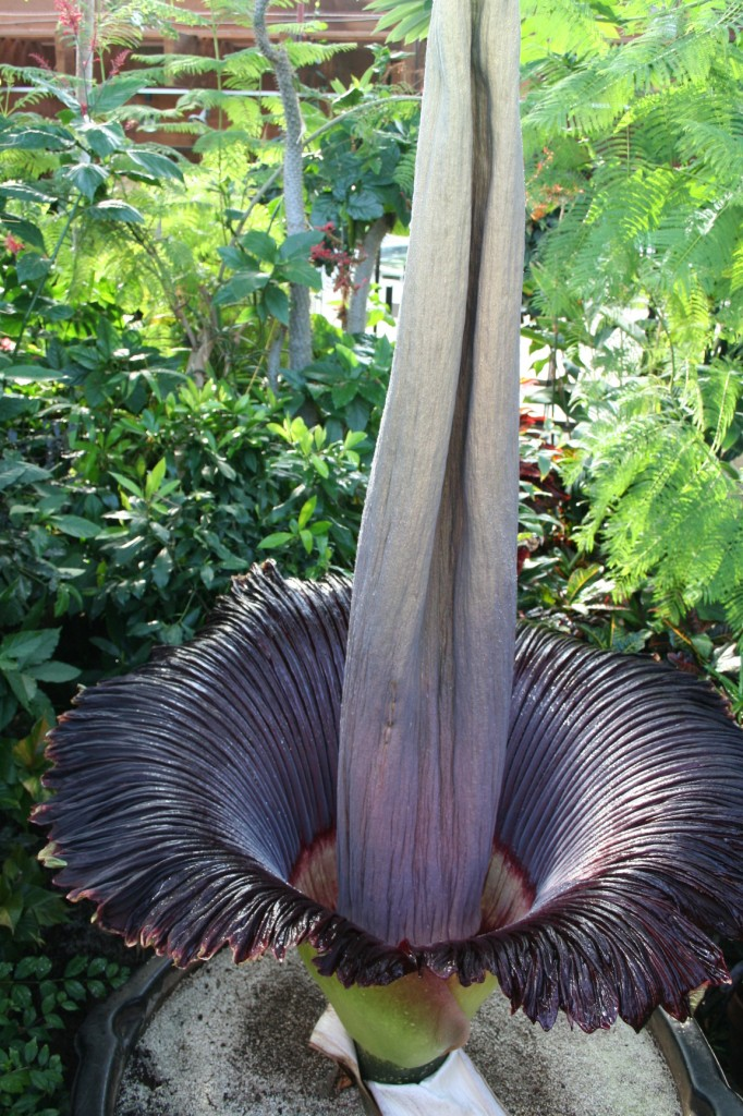 The Titan Arum in full bloom at 8:00 am on May 28th, 2014 at the Niagara Parks Floral Showhouse.
