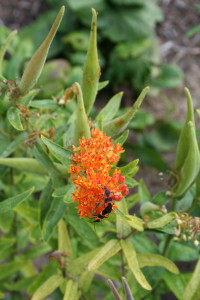 Butterflyweed (Asclepias tuberosa) provides nectar and food for many pollinators, moths, butterflies and aphids in the sustainable landscape.